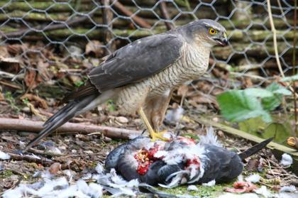 Sparrowhawk for sale
