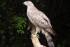 Siberian Goshawk Breeding Project