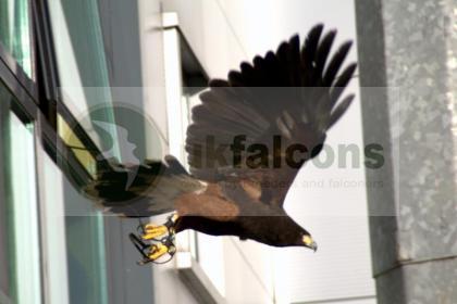 Breeding pair of Harris Hawks for sale