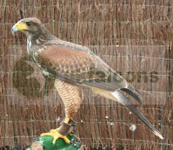 Male Large Harris Hawk Scotland,