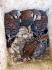 American Kestrel (pair)