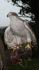 Taking orders for 2016 Finnish Gos Hawks and Harris Hawks