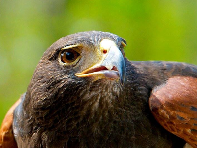 Female Harris Hawk for sale