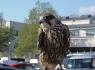 Pest Control Falcon