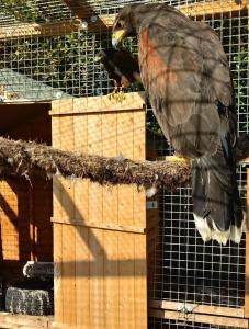 Harris Hawk Proven Breeding Pair
