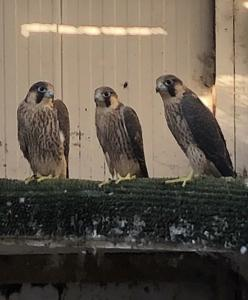 2020 Quality Pure Barbary Falcons For Sale